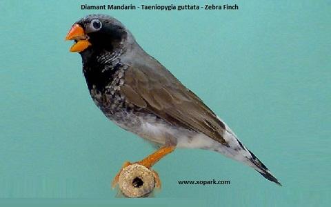 4Diamant-Mandarin—Taeniopygia-guttata—Zébra-Finch