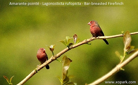 5Amarante-pointé—Lagonosticta-rufopicta—Bar-breasted-Firefinch