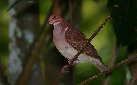 5Colombe-rouviolette—Geotrygon-montana-Ruddy-Quail-Dove