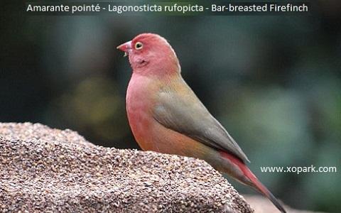 6Amarante-pointé—Lagonosticta-rufopicta—Bar-breasted-Firefinch