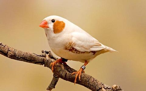 6Diamant-Mandarin—Taeniopygia-guttata—Zébra-Finch