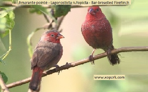 7Amarante-pointé—Lagonosticta-rufopicta—Bar-breasted-Firefinch