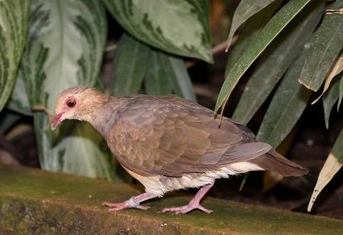 7Colombe-rouviolette—Geotrygon-montana-Ruddy-Quail-Dove