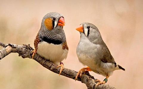 7Diamant-Mandarin—Taeniopygia-guttata—Zébra-Finch