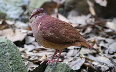 8Colombe-rouviolette—Geotrygon-montana-Ruddy-Quail-Dove