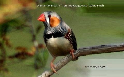 8Diamant-Mandarin—Taeniopygia-guttata—Zébra-Finch