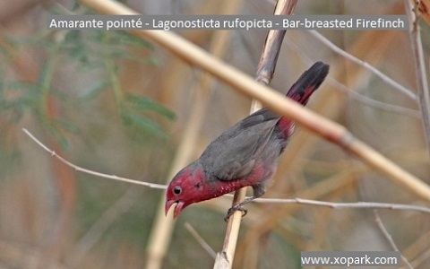 9Amarante-pointé—Lagonosticta-rufopicta—Bar-breasted-Firefinch