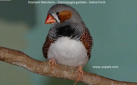 9Diamant-Mandarin—Taeniopygia-guttata—Zébra-Finch