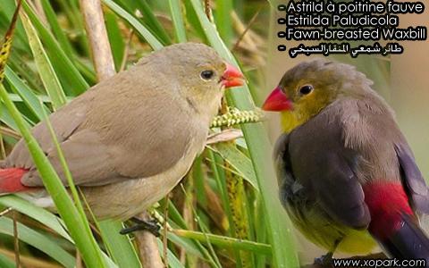 Astrild à poitrine fauve – Estrilda Paludicola – Fawn-breasted Waxbill – xopark1