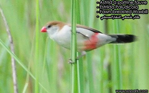 Astrild à poitrine fauve – Estrilda Paludicola – Fawn-breasted Waxbill – xopark2