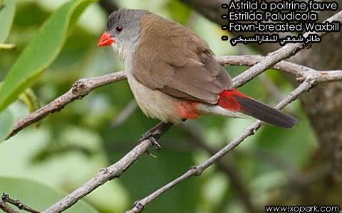 Astrild à poitrine fauve – Estrilda Paludicola – Fawn-breasted Waxbill – xopark3