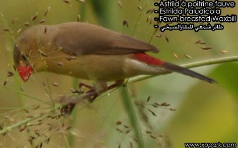 Astrild à poitrine fauve – Estrilda Paludicola – Fawn-breasted Waxbill – xopark5