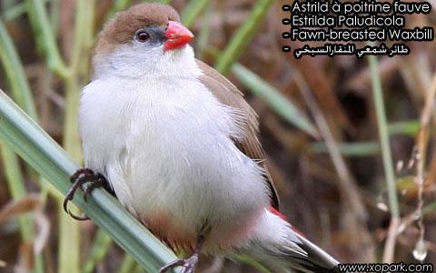 Astrild à poitrine fauve – Estrilda Paludicola – Fawn-breasted Waxbill – xopark6