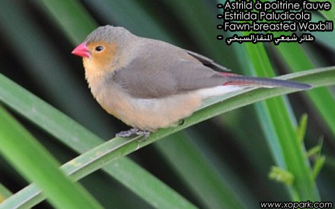 Astrild à poitrine fauve – Estrilda Paludicola – Fawn-breasted Waxbill – xopark7