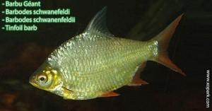 Barbu Géant - Barbodes schwanefeldi - Barbodes schwanenfeldii - Tinfoil barb un parmi une centaines de poissons d'eaux douces, xopark le portail de la nature vous invite à découvrir ces descriptions en photos et vidéos, quelque soit votre langue n'hésiter pas à fournir vos commentaires.