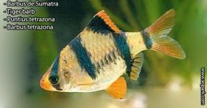 Barbus de Sumatra - Tiger barb - Puntius tetrazona •Barbus tetrazona un parmi les poissons d'eaux douces, xopark le portail de la nature vous invite à découvrir tout ces descriptions en photos et vidéos, quelque soit votre langue n'hésiter pas à fournir vos commentaires.