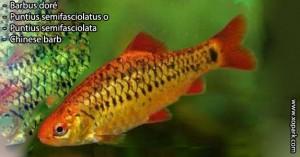 Barbus-doré---Puntius-semifasciolatus---Chinese-barb-xopark00