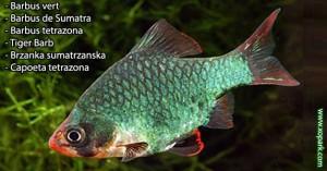 Barbus vert - Barbus de Sumatra - Barbus tetrazona - Tiger Barb un parmi une centaines de poissons d'eaux douces, xopark le portail de la nature vous invite à découvrir ces descriptions en photos et vidéos, quelque soit votre langue n'hésiter pas à fournir vos commentaires.