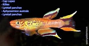 Cap Lopez – Killie - Lyretail panchax - Aphyosemion australe -  un parmi une centaines de poissons d'eaux douces, xopark le portail de la nature vous invite à découvrir ces descriptions en photos et vidéos, quelque soit votre langue n'hésiter pas à fournir vos commentaires.
