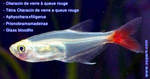 Characin de verre à queue rouge---Prionobrama-filigera---Glass-bloodfin un parmi une centaines de poissons d'eaux douces, xopark le portail de la nature vous invite à découvrir ces descriptions en photos et vidéos, Ne rater pas cette occasion cliquer et quelque soit votre langue n'hésiter pas à fournir vos commentaires.