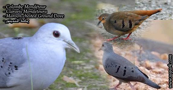 Colombe mondétour (Claravis Mondetoura - Maroon-chested Ground Dove)