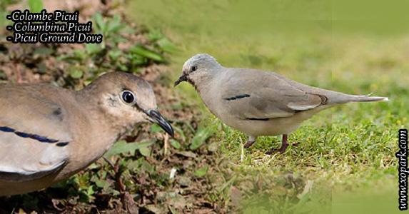 Colombe Picui (Columbina Picui - Picui Ground Dove)