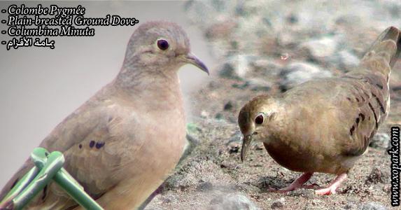 Colombe Pygmée (Columbina Minuta - Plain-breasted Ground Dove)