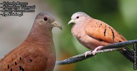 Colombe Rousse - Columbina Talpacoti - Ruddy Ground Dove)