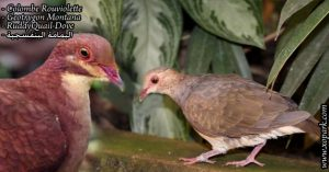 Colombe rouviolette (Geotrygon Montana - RuddyQuail-Dove )