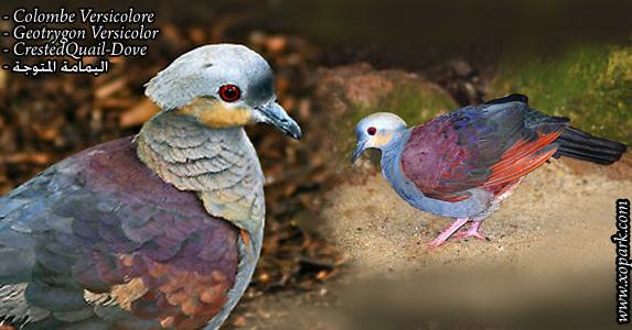 Colombe versicolore (Geotrygon Versicolor - CrestedQuail-Dove )