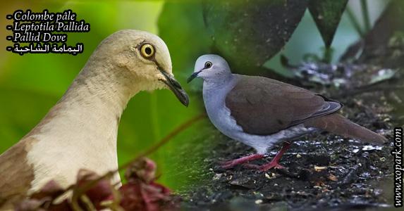 Colombe Pâle (Leptotila Pallida - Pallid Dove)
