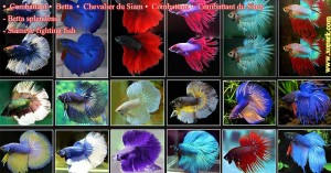 Combattant - Betta splendens -Siamese fighting -Chevalier du Siam