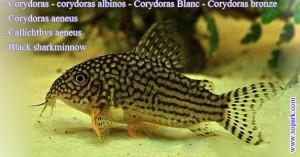 Corydoras - Corydoras aeneus - Black sharkminnow - xopark00