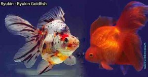 Ryukin---Ryukin-Goldfish