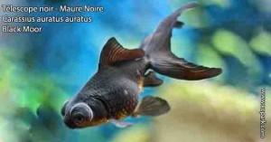 Télescope noir - Maure Noire - Carassius auratus auratus - Black Moor