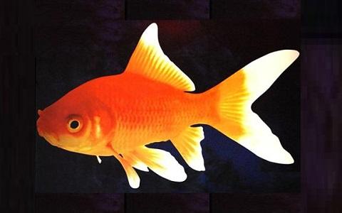 Xopark1Poisson-rouge—Cyprin-doré—Carassius-auratus—goldfish