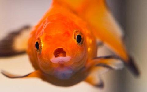 Xopark2Poisson-rouge—Cyprin-doré—Carassius-auratus—goldfish