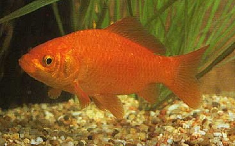 Xopark3Poisson-rouge—Cyprin-doré—Carassius-auratus—goldfish