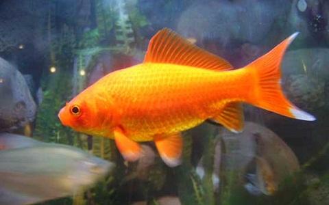 Xopark4Poisson-rouge—Cyprin-doré—Carassius-auratus—goldfish