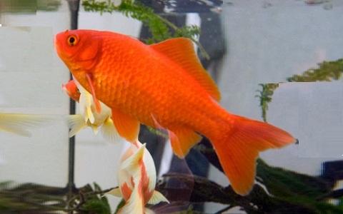 Xopark5Poisson-rouge—Cyprin-doré—Carassius-auratus—goldfish