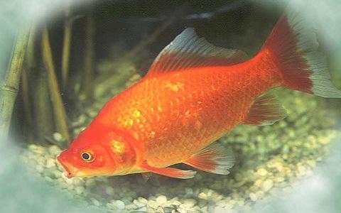 Xopark6Poisson-rouge—Cyprin-doré—Carassius-auratus—goldfish