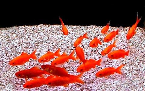 Poisson rouge cyprin dor gueue de voile leuciscus for Poisson rouge japonais