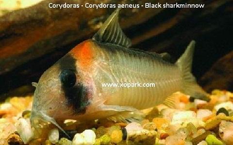 xopak10Corydoras—Corydoras-aeneus—Black-sharkminnow