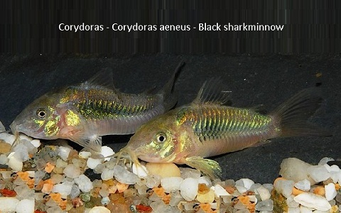 xopak11Corydoras—Corydoras-aeneus—Black-sharkminnow
