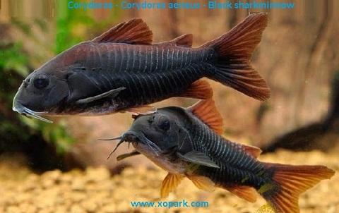 xopak13Corydoras—Corydoras-aeneus—Black-sharkminnow