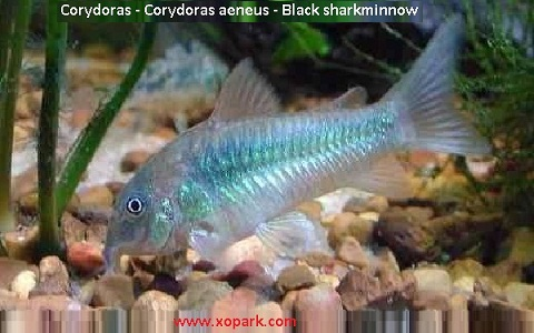 xopak1Corydoras—Corydoras-aeneus—Black-sharkminnow