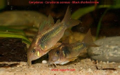 xopak2Corydoras—Corydoras-aeneus—Black-sharkminnow