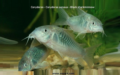 xopak7Corydoras—Corydoras-aeneus—Black-sharkminnow
