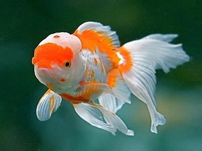 Poisson casque rouge goldfish carassius auratus voile for Nom poisson rouge