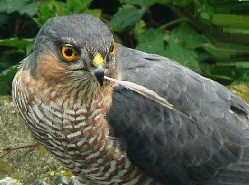 Épervier des Nicobar-Accipiter butleri -Nicobar Sparrowhawk